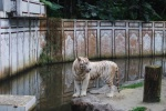 A rare white tiger. Photo by: Diana O'Gilvie