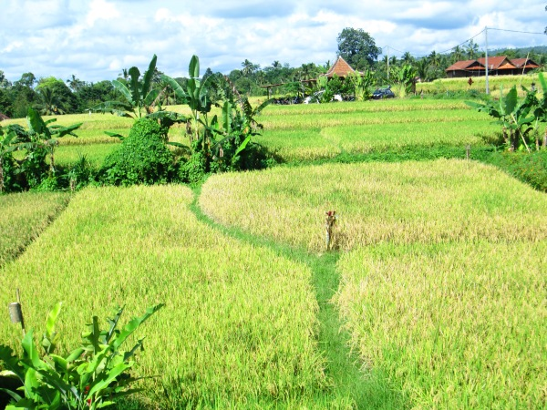 Ricefields Photo by: Diana O'Gilvie