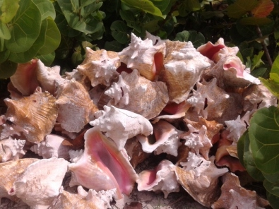 Pile on conch shells in Blue Hills.  Photo by: Diana O'Gilvie